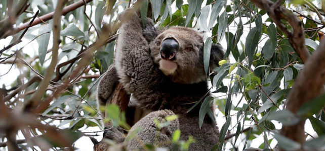 Falling koala numbers not a crisis, says expert