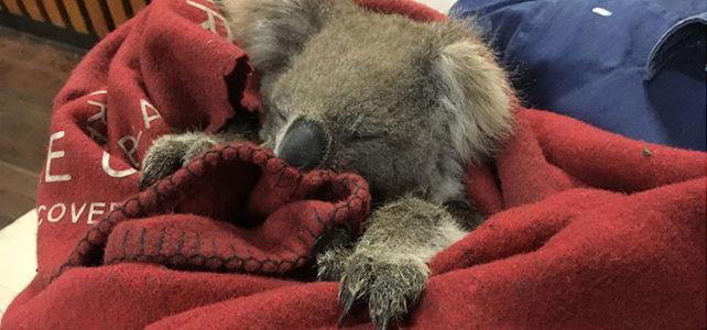 Kellie the Koala Returns to the Bush