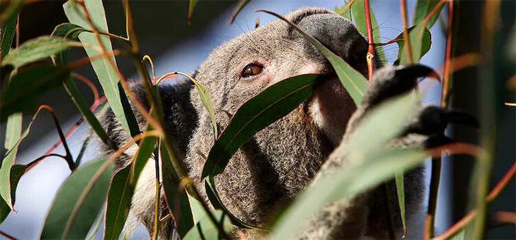 The Great Koala Crisis